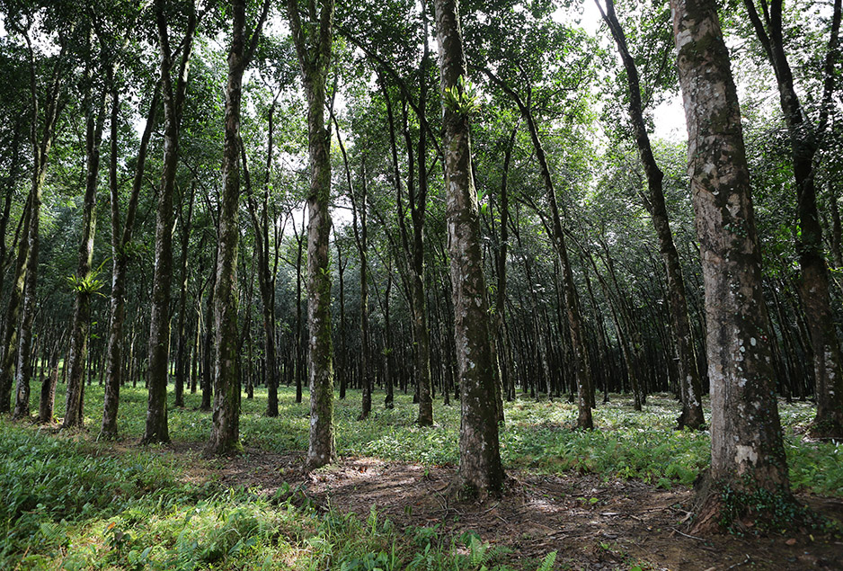 A Liberian rubber estate