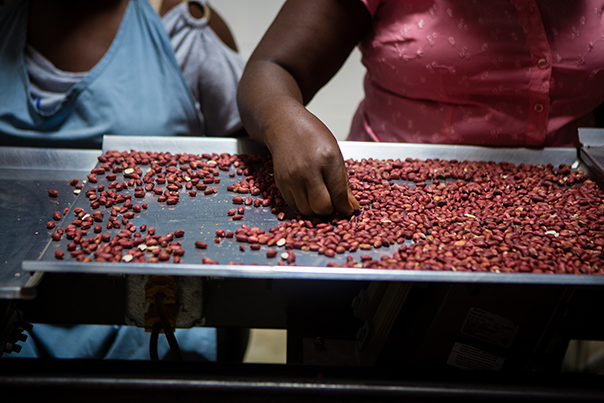 Two women sort through peanuts on a metal pan
